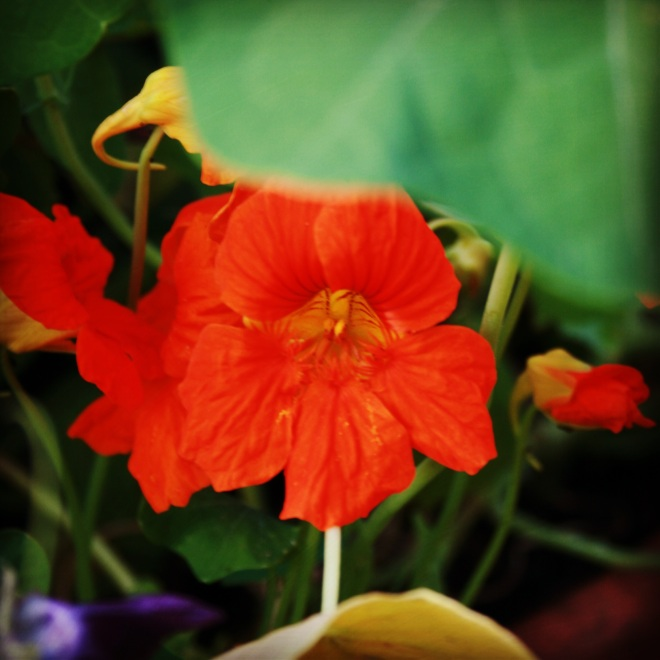Nasturtiums.  Edible flowers with a peppery taste bringing vibrancy to summer salads.