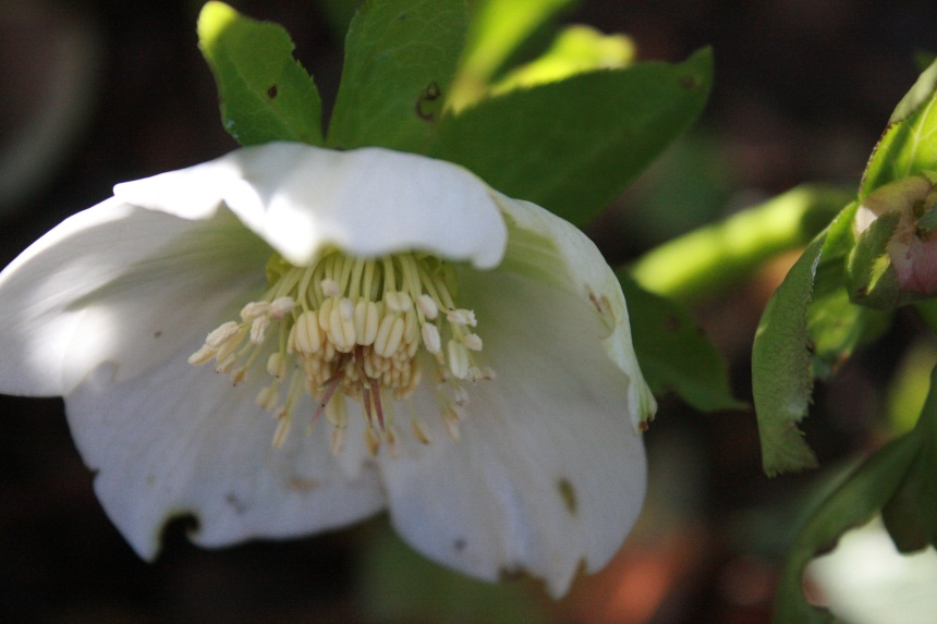 Beautiful hellebore flowering her heart out in the dappled shade under the hedgerow.