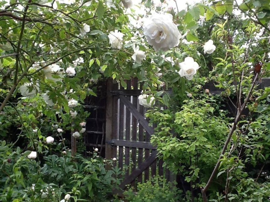 How the rose and fruit tree garden usually looks in high summer.  Time to prune and tie-in to get everything back into shape!