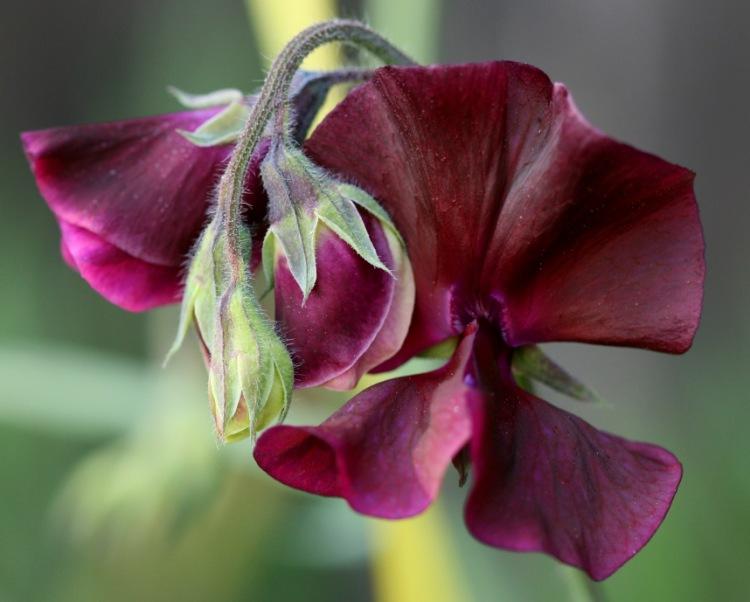 Photo Credit: Sweet Pea #3,  Philip Bouchard via Compfight  cc