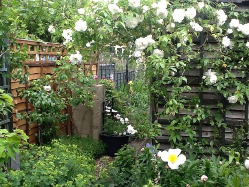 I love roses and the romance they bring to a space. I planned this part of the garden to be filled with white roses and fruiting trees. It has it's own climate, warmer than other areas and catches the sunshine most of the day.