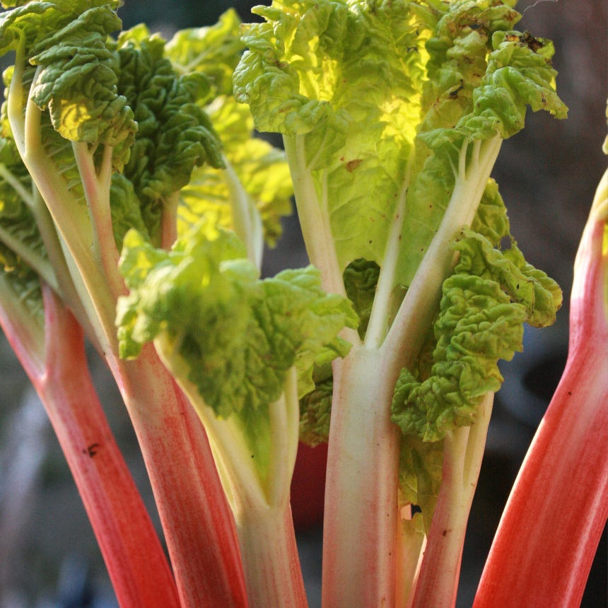 Forced rhubarb is still harvesting until the end of this month.  Tender and sweeter than the later varieties.  Perfect for soups.