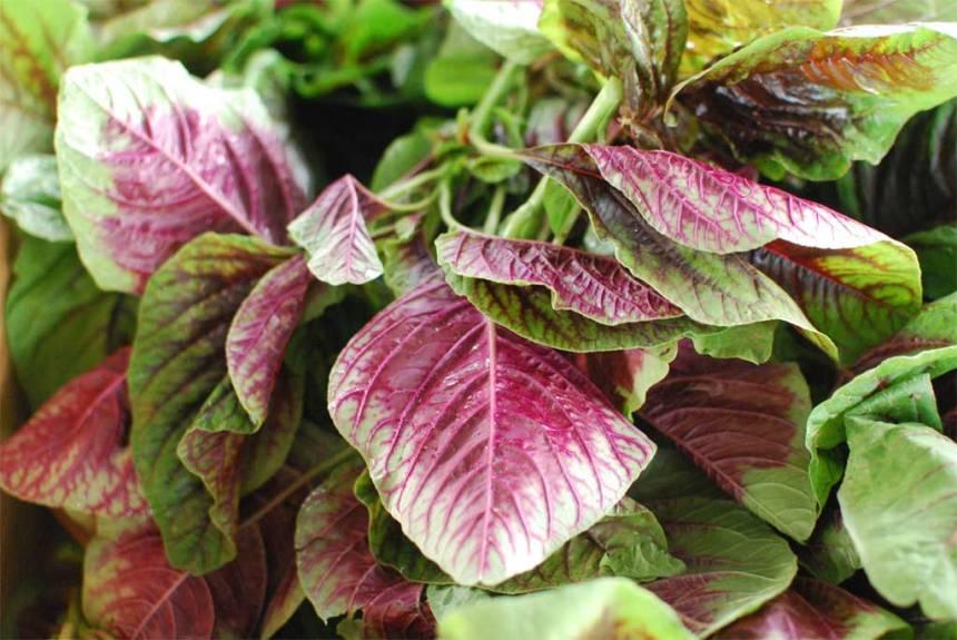 Red-veined variety