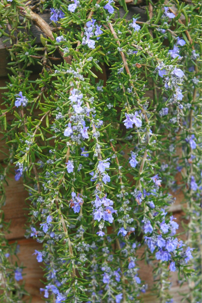 Beautiful trailing Rosemary. Lovely over the sides of raised beds.  Rosemary makes a good herbal. Steep in warm water.