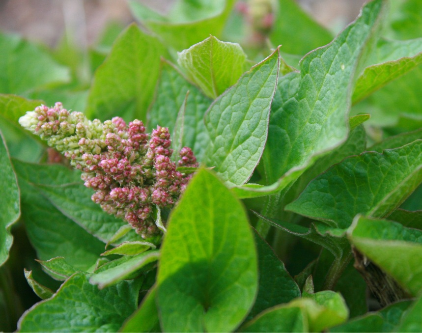 Good King Henry. Leaves and flowers are edible can be steamed or stir-fried.