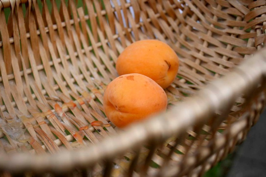 Apricots - a great foraging find.